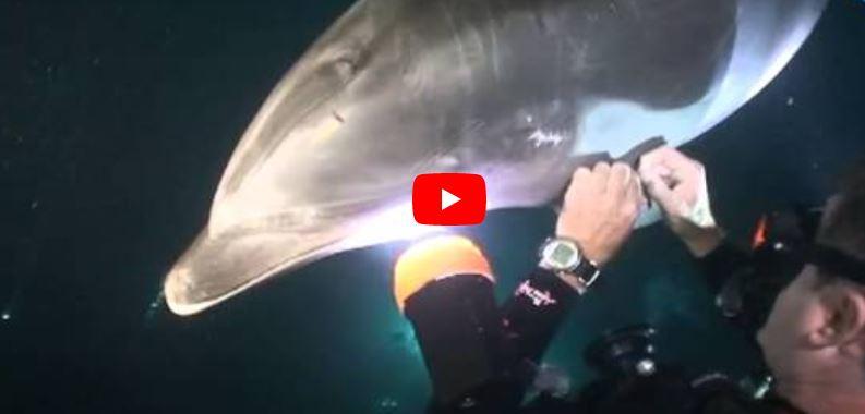La Increíble Inteligencia de Un Delfín Pidiendo Ayuda a un Buzo
