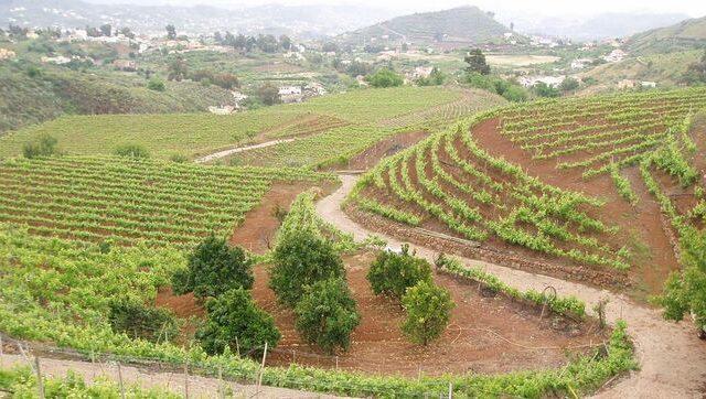 Diez Denominaciones de Origen vinícolas de las Islas Canarias que compiten con la Península en calidad
